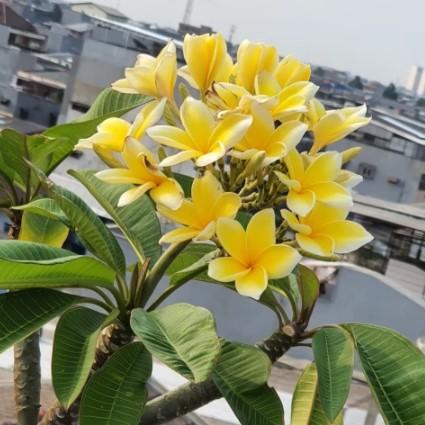 Bunga Kamboja Tokopedia